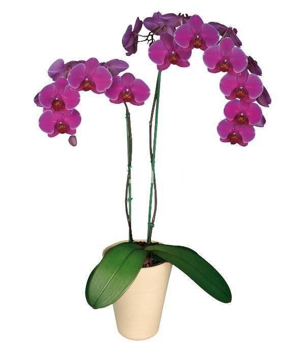 Phalaenopsis 2