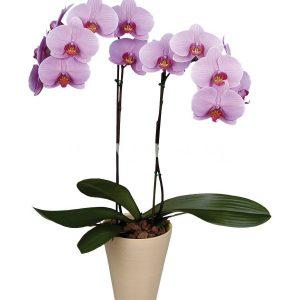 Phalaenopsis 4