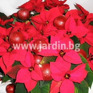 A basket of poinsettias