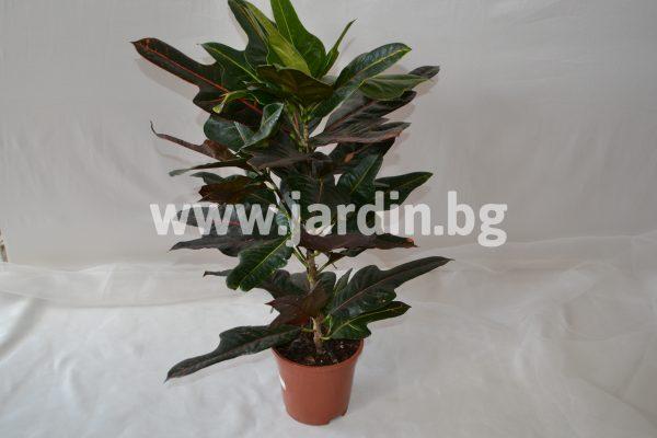 Кротон Codiaeum variegatum