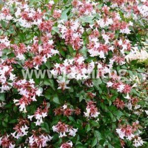 Абелия Abelia grandiflora