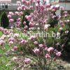 Магнолия Magnolia liliiflora Nigra