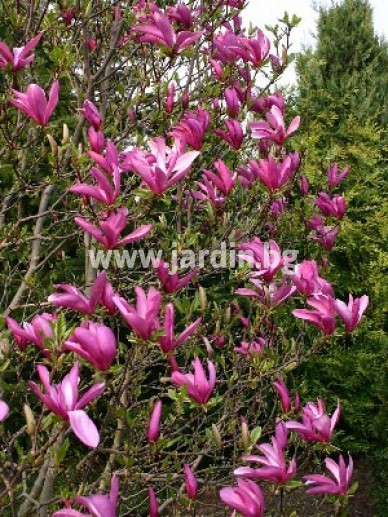 magnolia_liliiflora_nigra_-_valse_tulpenboom_beverboom