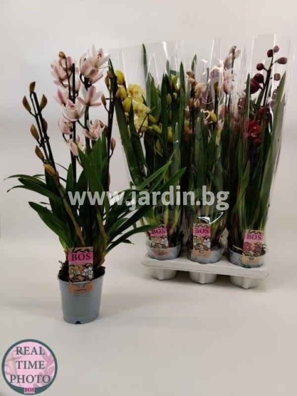 орхидея-цимбидиум