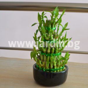 Arrangement Dracena Lucky Bamboo