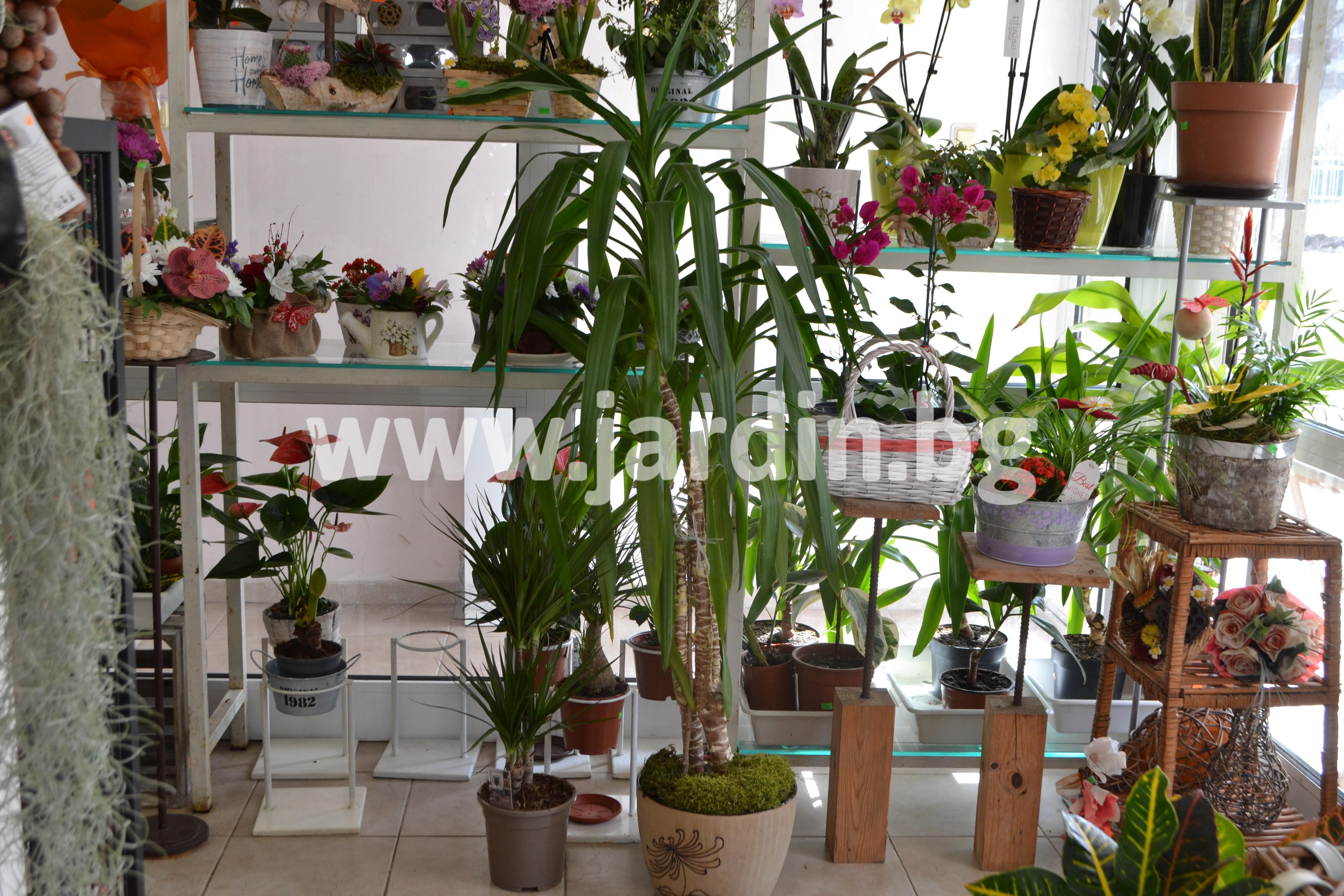 yucca-plant (1)