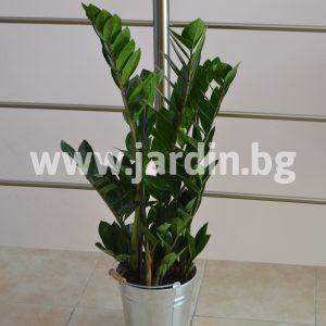 Замиокулкас Zamioculcas zamiifolia