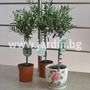 Маслиново дръвче Olea europaea