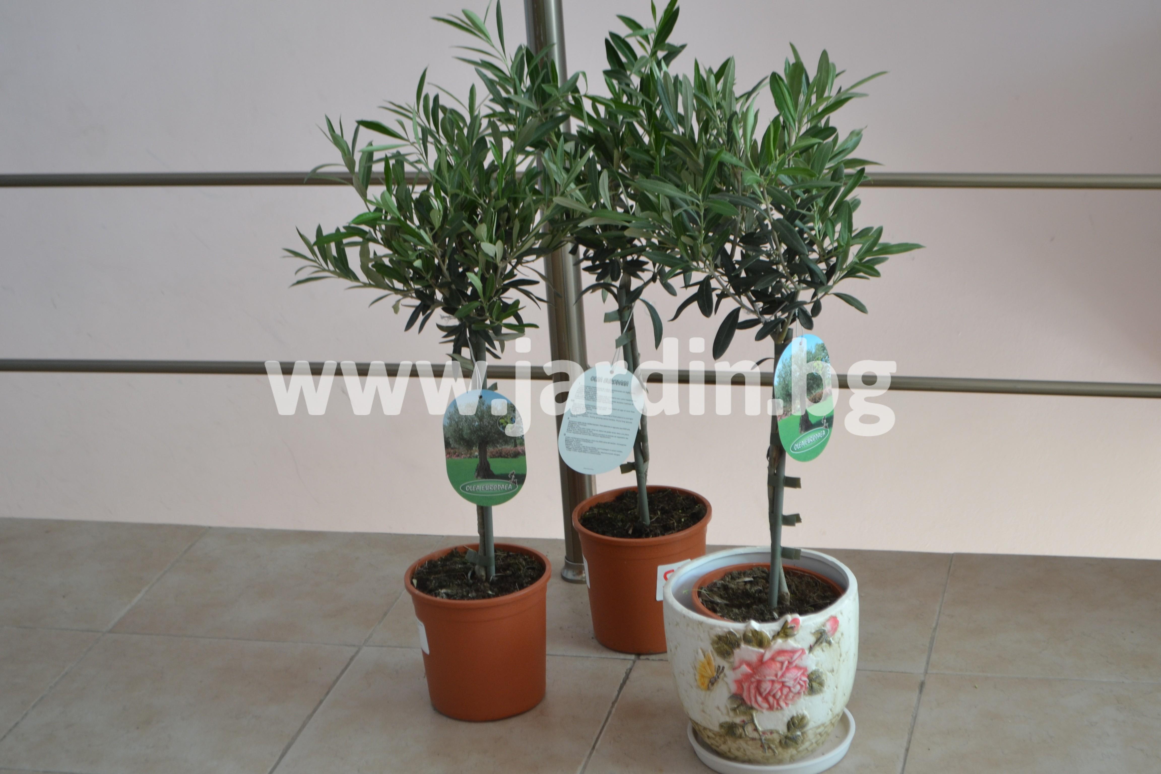 маслинови- дръвчета (3)