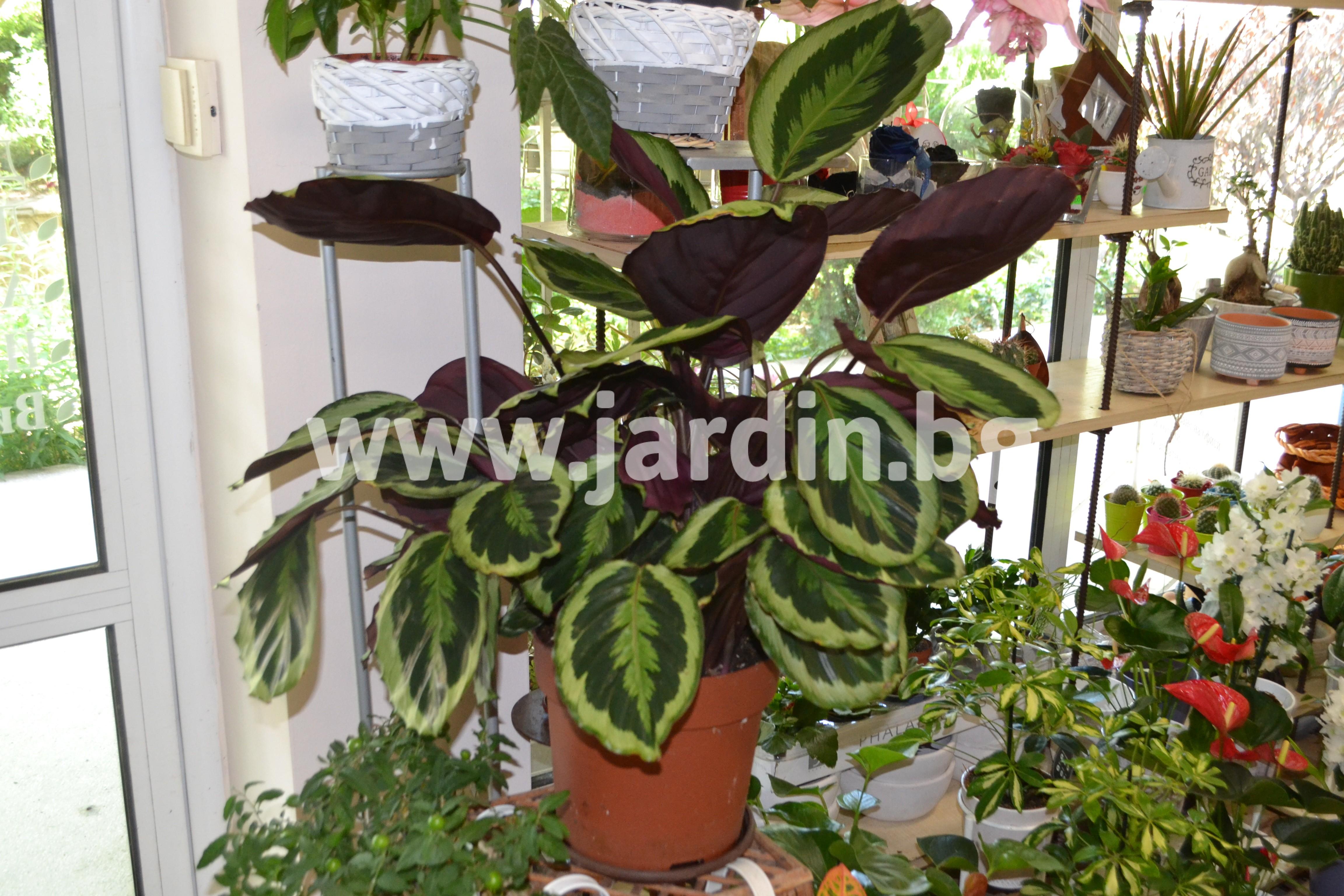 калатея-сксийни-растения (1)